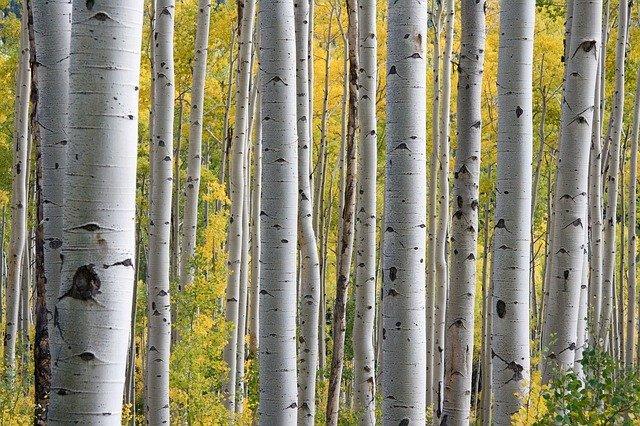 Brzoza - drzewo, które leczy, fot. Pixabay.com